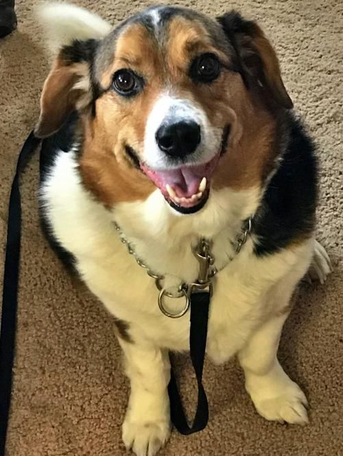 Pembroke Welsh dog for Adoption in Brooklyn Park, MN
