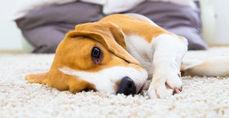 Lemon Beagle Beagle Beagle Pinterest Beagle Dogs And Lemon
