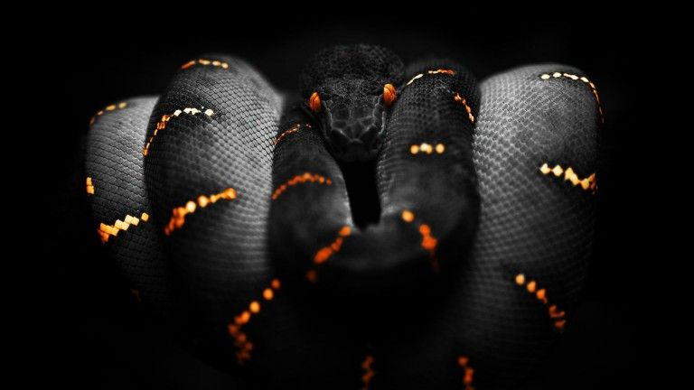 Black Python Snake Wallpaper For Desktop And Mobile In High