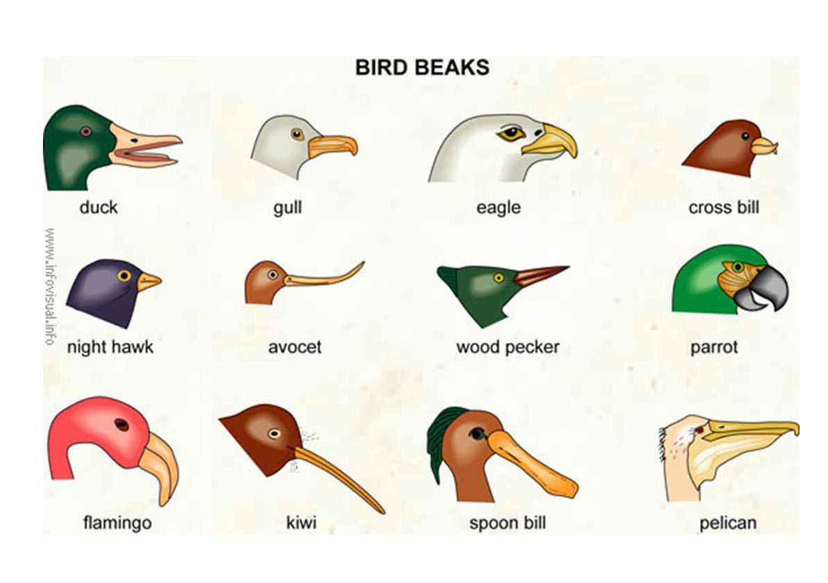 Bird Beaks Investigate How Different Types Of Beaks Are