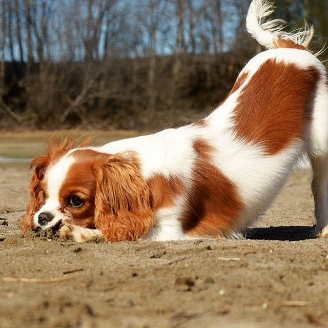 Toteia Come Lets Play Cavalierpuppy