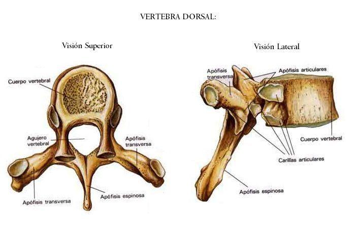 Excepcional Anatomía De Un Cuerpo Vertebral Cresta - Anatomía de Las ...