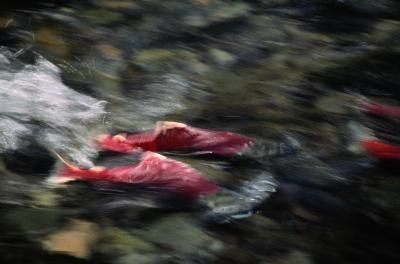 P Salmon Racing Sockeye salmon racing ...