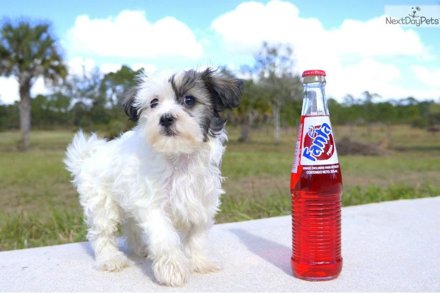 Meet Carol The Cute Teddy Bear For Sale In Fl Teddy Bears For Sale Teddy Bear Puppies Shichon Puppies