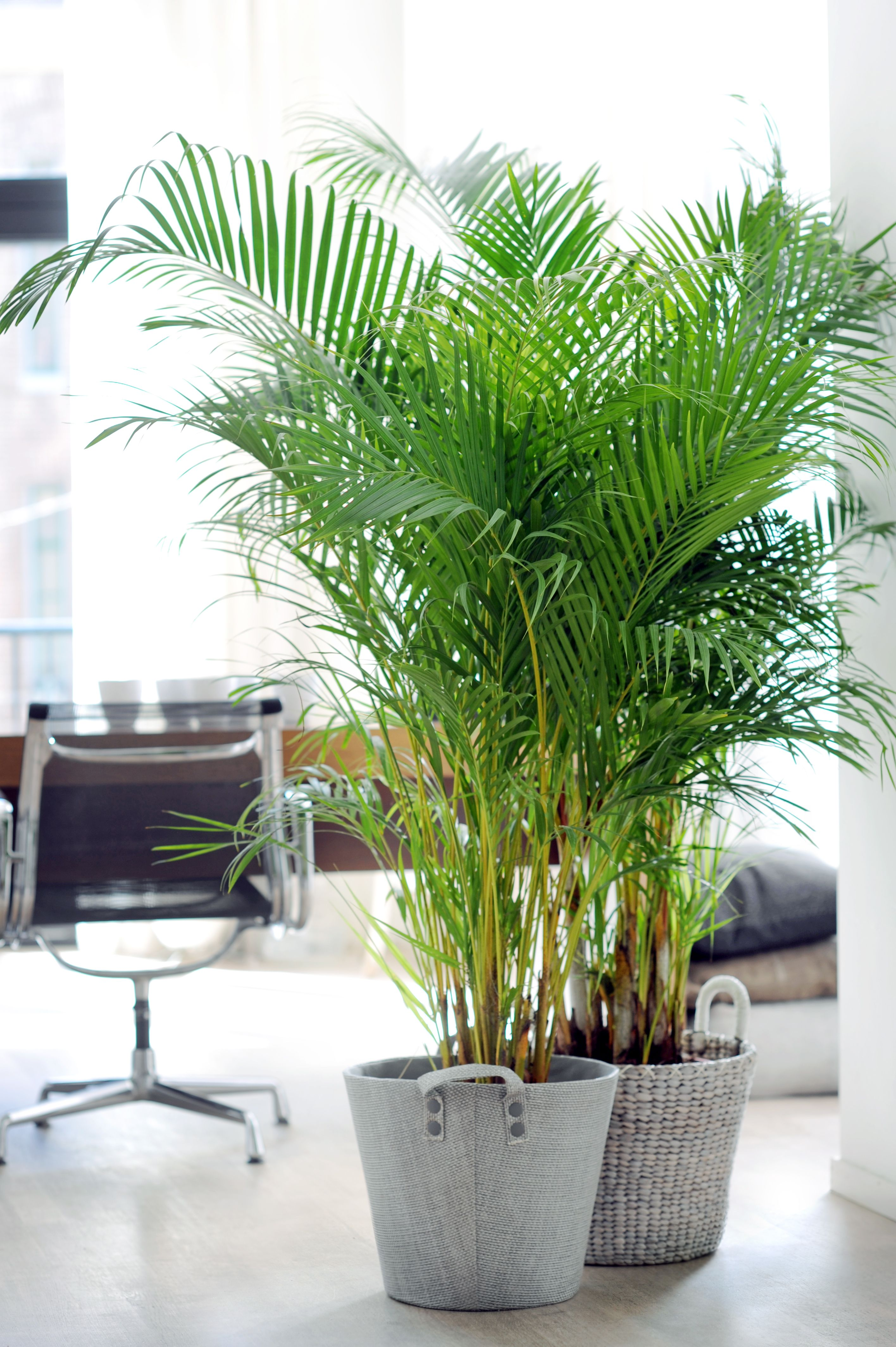 Areca rempot dans pot lechuza quadro taupe plantes for Catalogue plantes vertes