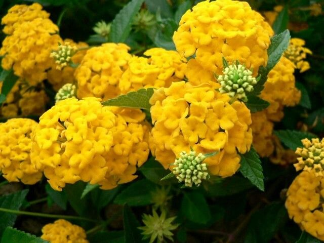 Pin By Marie Bornman On Cornales Yellow Hydrangea Flowers Perennials Hydrangea Flower Pictures