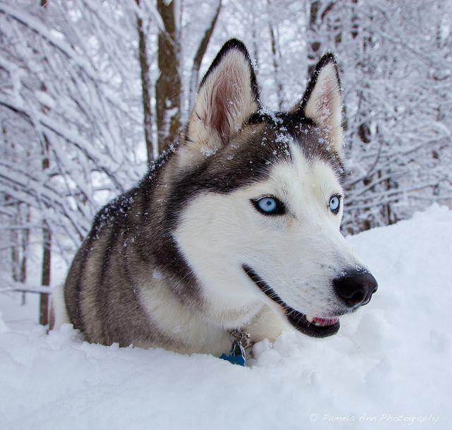 Having Fun In The Snow In Traverse City Michigan Siberian Husky