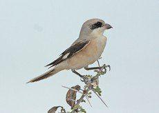 ♫ Alcaudón Chico - Escucha la voz del pájaro