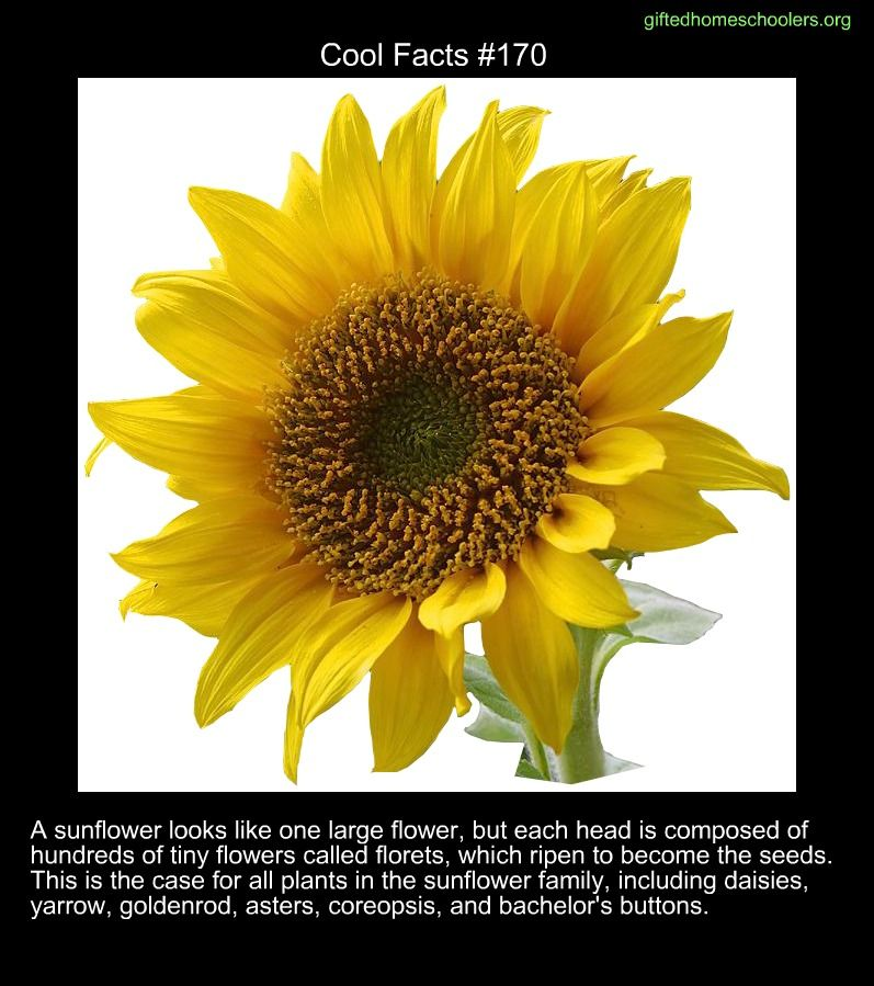 Cool Facts 170 Https En Wikipedia Org Wiki Sunflower Fun Facts Cool Science Facts Weird Facts