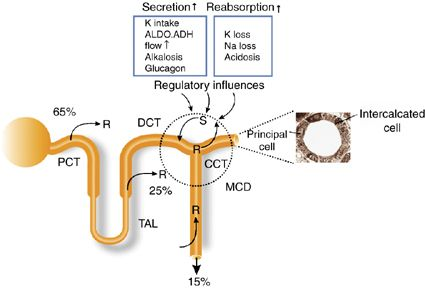 Summary of potassium transport along the nephron renal physiology summary of potassium transport along the nephron ccuart Choice Image