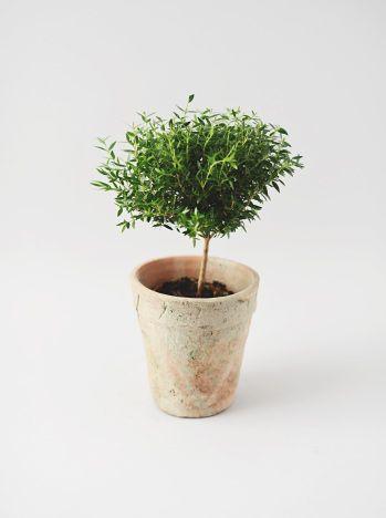 Myrten - <strong>HÖJD:</strong> Denna planta är ca 35 cm hög inklusive kruka. <strong>VÄXTPLATS:</strong> Ljust, skugga vid stark sol. <strong>SKÖTSEL:</strong> Var noga med vattningen, myrten är kä..