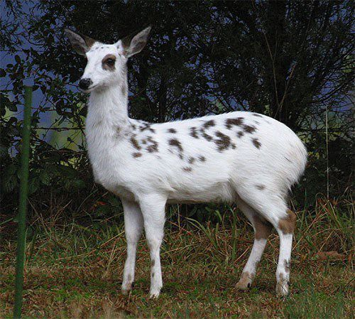 Whitetailed Piebald Deer Albino Animals Whitetail Deer Albino Deer