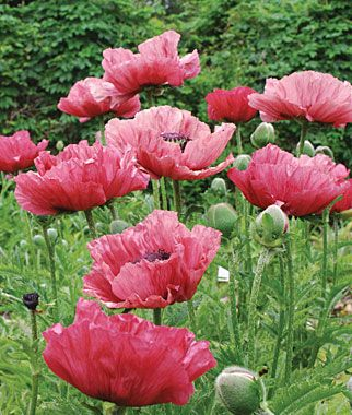 Super Poppy Medallion Large Mohnblume Blumen Mohn