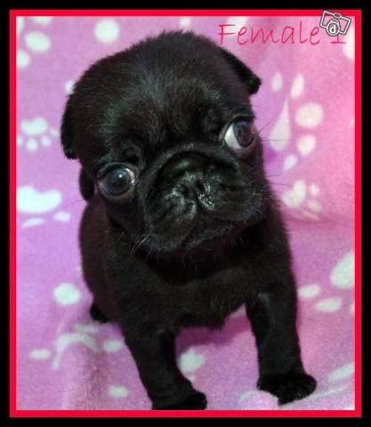 Black Pug Puppies Black Pug Puppies Available To Loving Homes In Cranebrook New South Black Pug Puppies Black Pug Pug Puppies