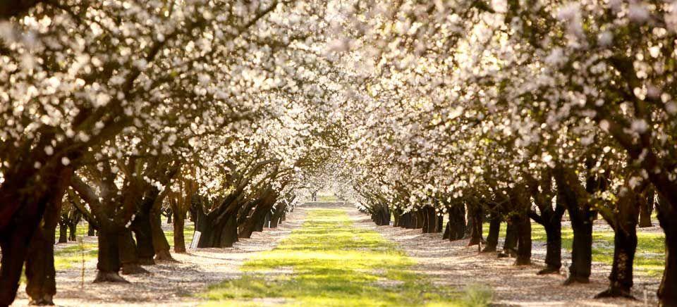 Cherry Blossom Tree Dublin Ca These Trees Are Everywhere So Beautiful Cherry Blossom Tree Tree Blossom Trees
