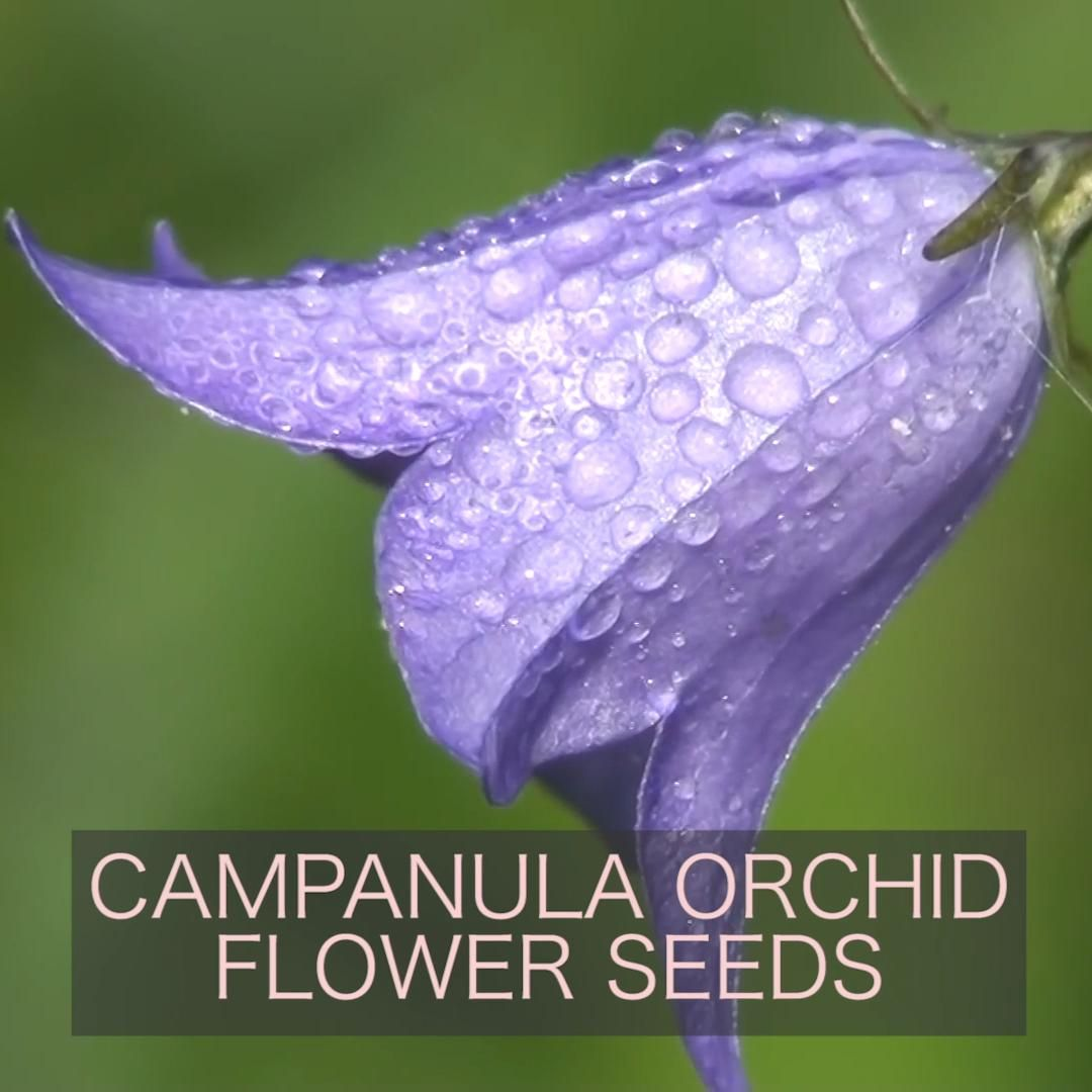 Campanula Orchid Flower Seeds Video In 2020 Flower Seeds Orchids Planting Flowers