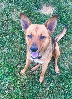 Springfield Mo German Shepherd Dog Meet Zara A Dog For