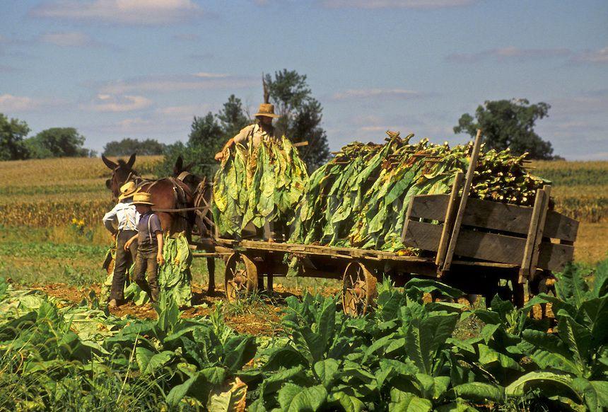 Amish harvesting tobacco amish country amish country