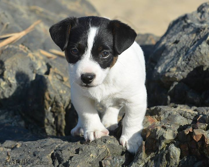 Https Www Facebook Com Shortleggedjackrussells Photos Np 1429551205868211 1592155572 10152885265292252 Jack Russell Jack Russell Terrier Jack Russell Puppies
