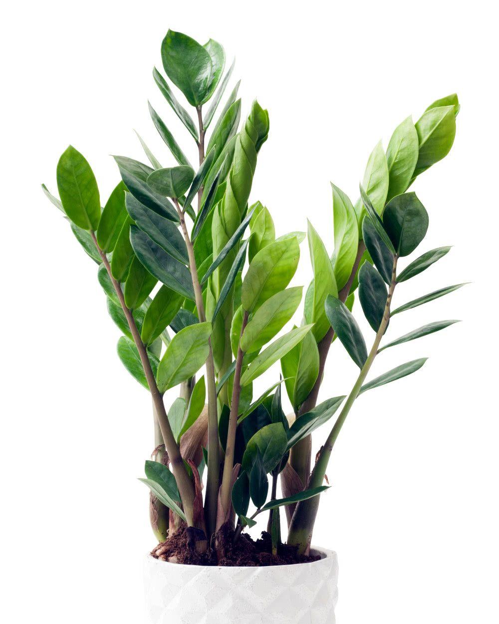 Zamiokulkas Zamiolistny Zamioculcas Zamiifolia Plants Plant Care Garden