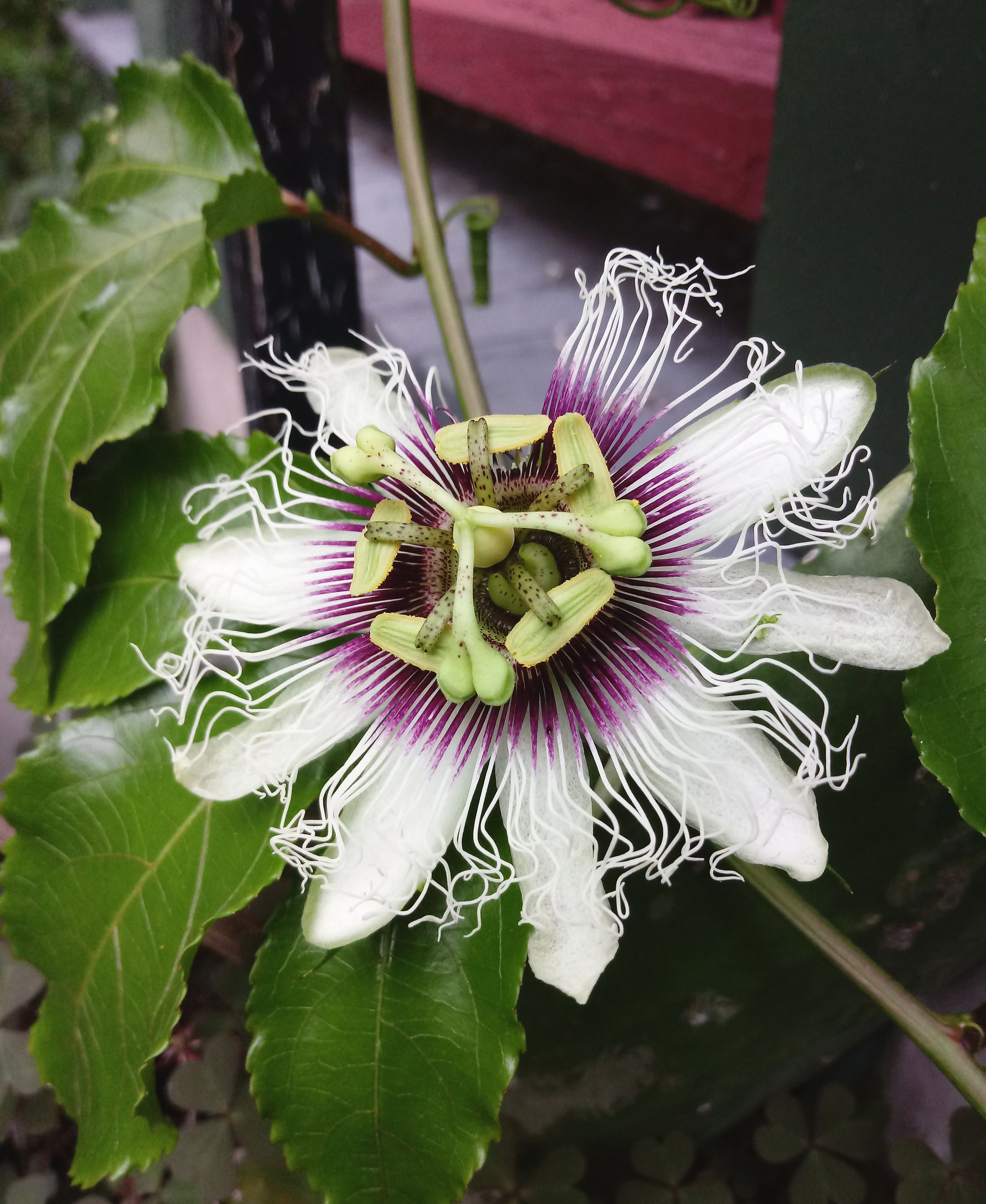 My First Passion Flower Bloomed Just Before Indoor Winter Sleepy Time Started From Cuttings Last Spring Upstate Ny Zone 6 Ga Passion Flower Flowers Bloom
