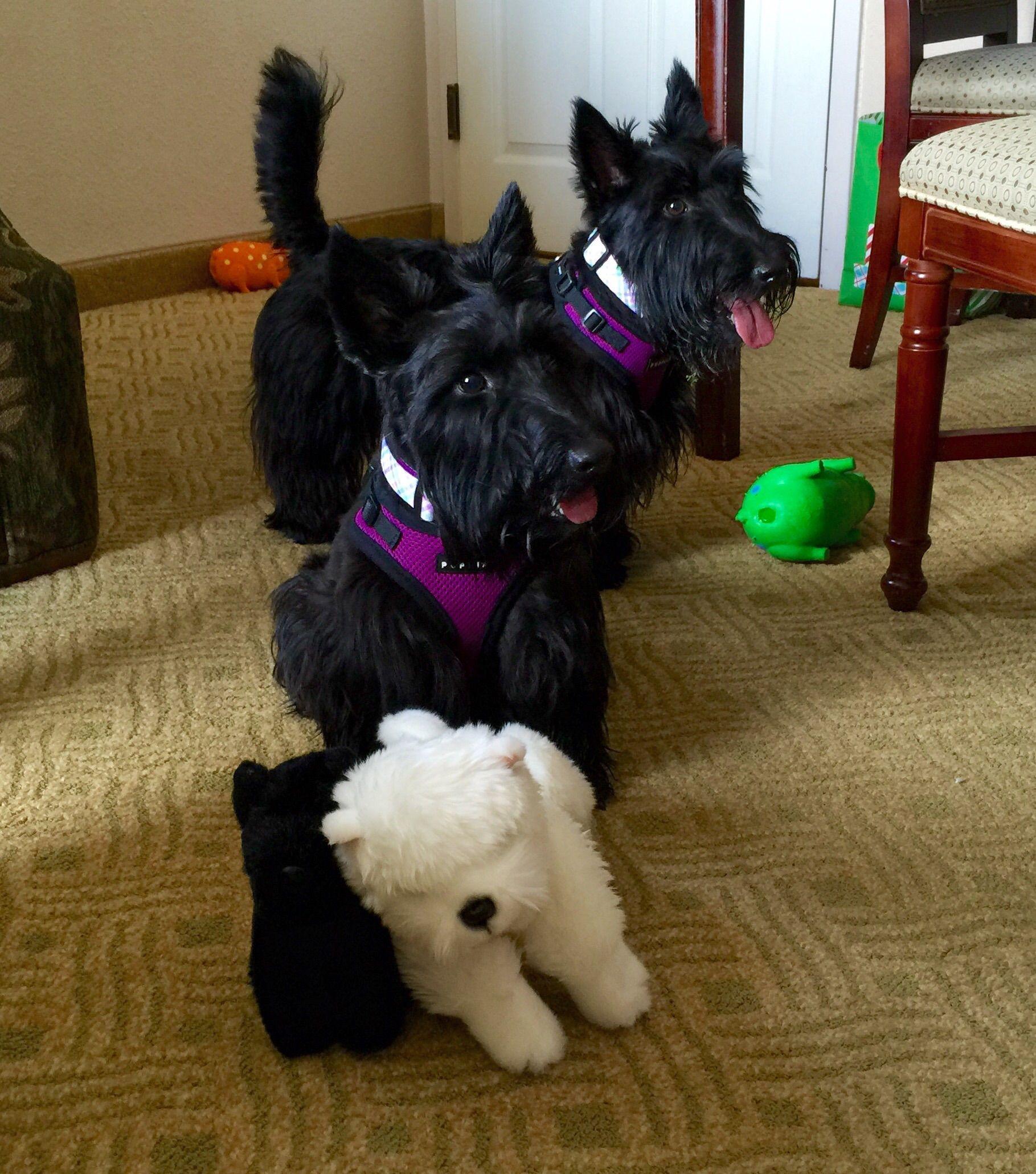 Texas Meet and Growl Scottie terrier, Scottie dog