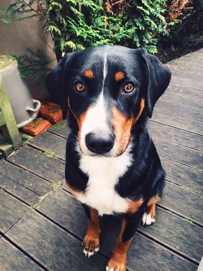Cutie Yummypets Loopsy Appenzeller Sennenhund Sennenhund