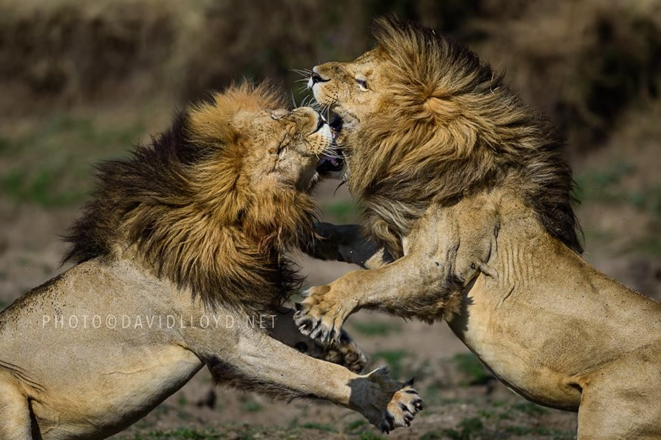 Regal Fight!! Two male lions from the Marsh Pride