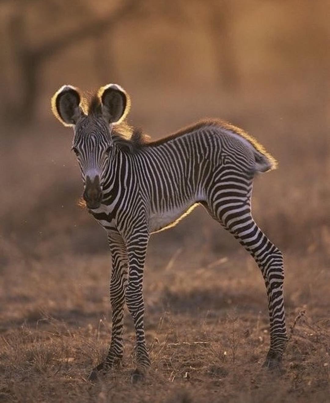Schwarz oder Weiß die Fußspuren im Sand sind die gleichen ... @ africaniism. . ....-#africaniism #die #Fußspuren #gleichen #oder #Sand #Schwarz #sind #Weiß- Schwarz oder Weiß die Fußspuren im Sand sind die gleichen … @ africaniism. . . . Baby Zebra | James Warwick. . CheckoutAfrica.com | #CheckoutAfrica #tanzania #motivational #African #Zambia #Zimbabwe #animals #smile #daringescapes #southafrica #animallover #ethiopia #beautiful #Romance #endangered #Africa #Inspirational #colorful #tanzania #