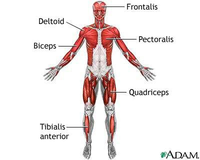 muscular system | muscular system | pinterest | muscular system, Muscles