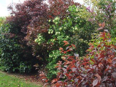 Une haie champ tre tr s d corative sc nes de jardins haies persistant pinterest haies - Haie champetre persistant ...