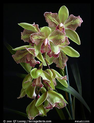 Looks Like A Peloric Cymbidium Cymbs Are On My Must Have List If I Ever Get A Windowsill Again Orchid Flower Cymbidium Orchids Beautiful Orchids