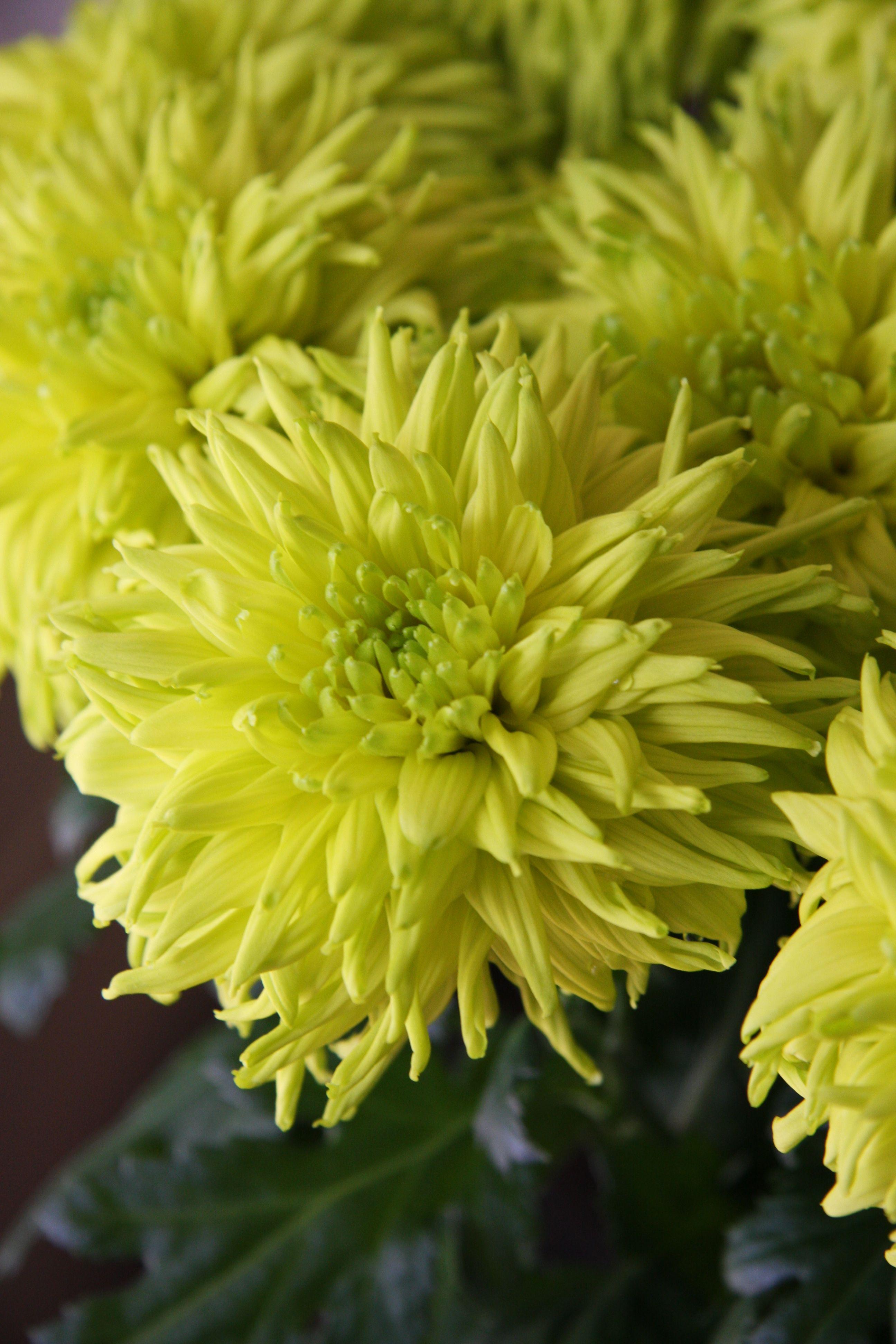 Chrysanthemum popeye chrysanthemum pinterest chrysanthemums