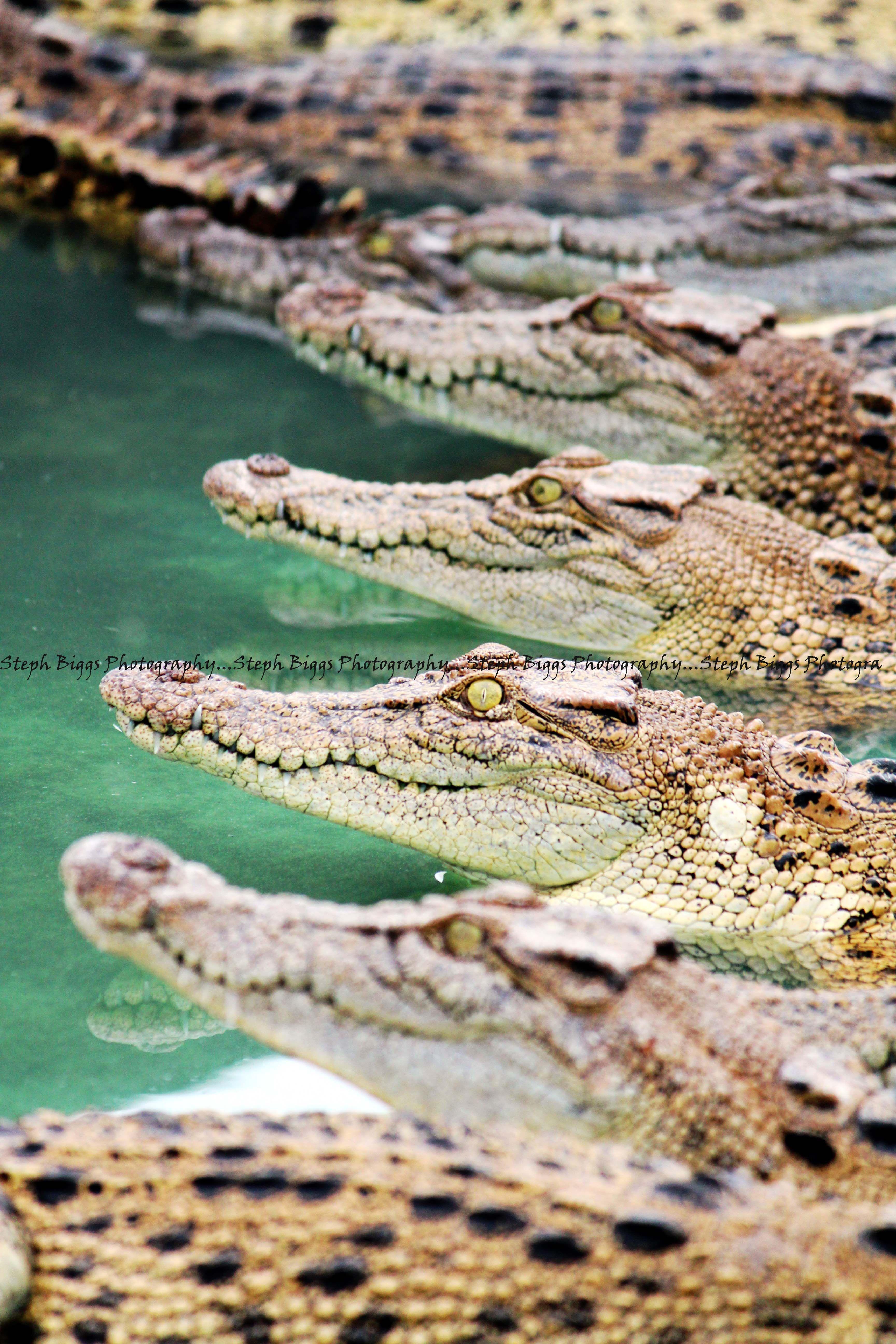 Crocodile farm, Queensland