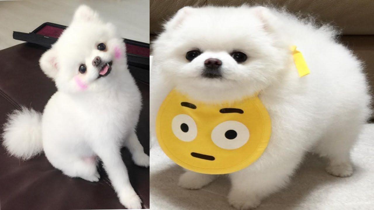 Pomeranian Puppies videos pilation