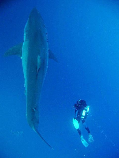 great white shark size comparison | Great White from above ...