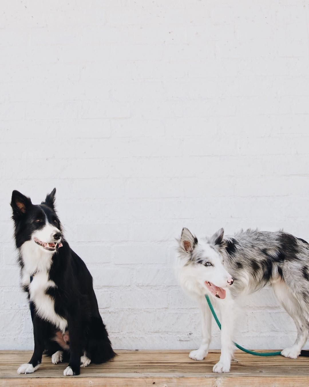 Border Collies Bordercollie Big Dog Breeds Pinterest Collie