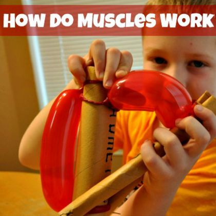 how do muscles work? | awesome, science experiments and learning, Muscles