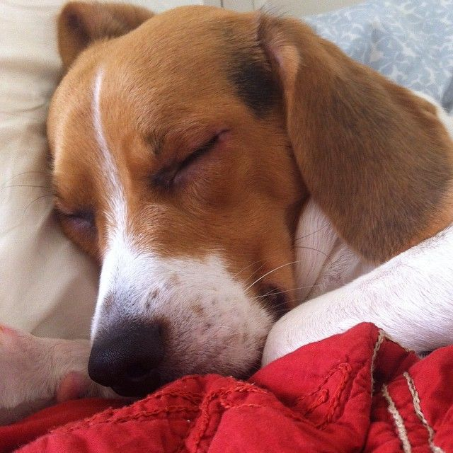 Good Night Beagle Dog Beagle