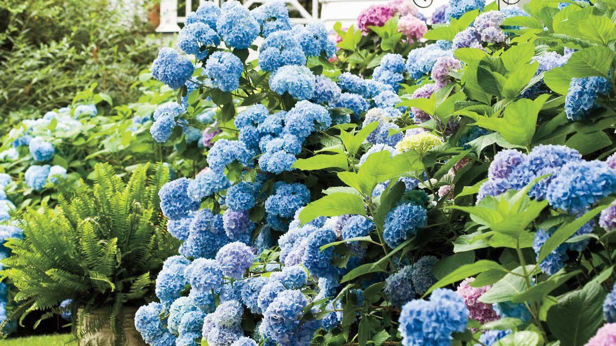 Every Southern Beauty Can Use A Little Accessorizing Companion Plants Beautiful Flowers Garden Planting Hydrangeas Hydrangea Garden