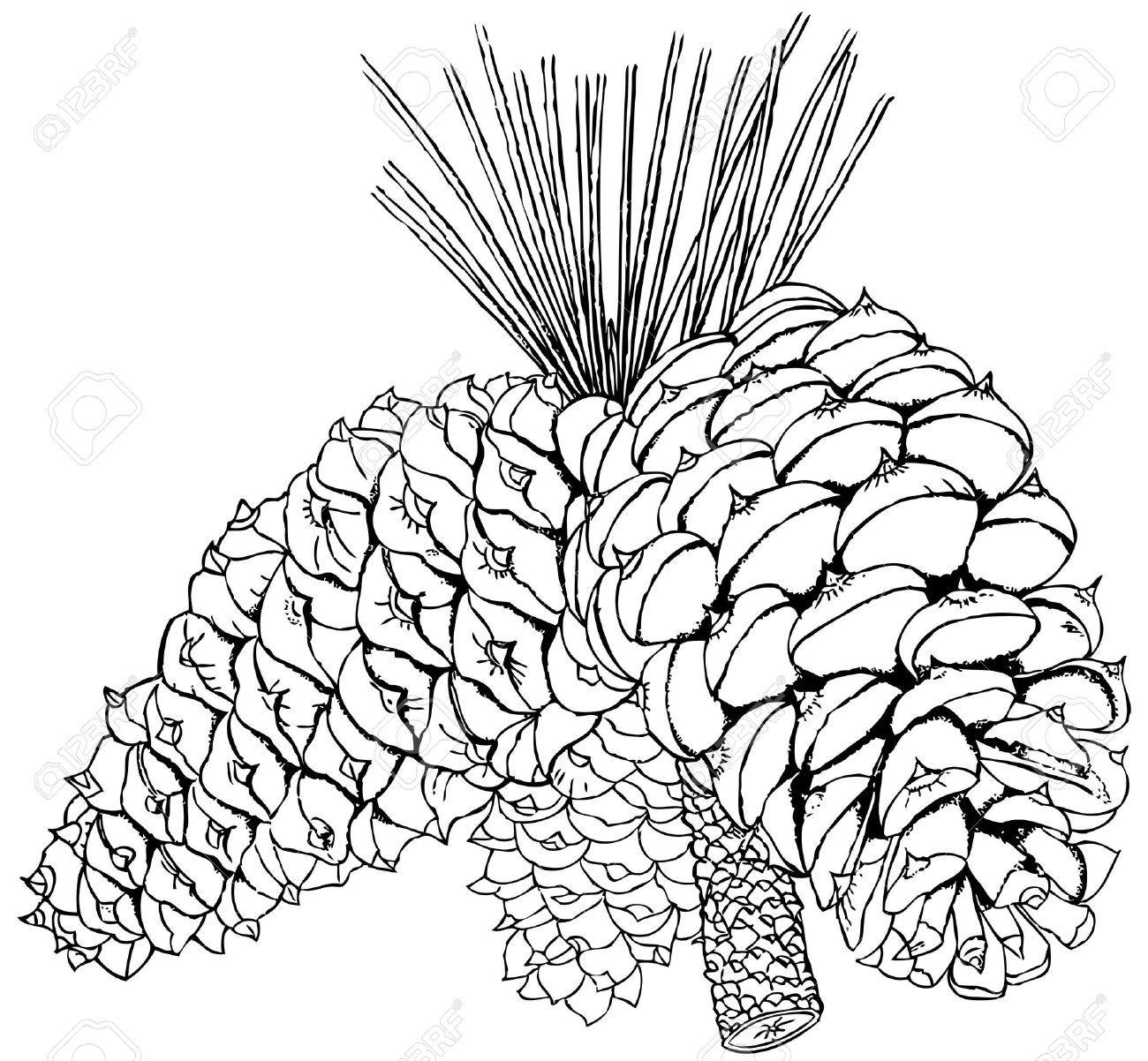 Pinus Ponderosa Drawing Images