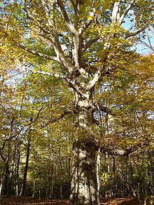 Fagus Grandifolia American Beech Or North American Beech Is The Species Of Beech Tree Native To The Eastern United States An With Images Tree Deciduous Trees Magic Herbs