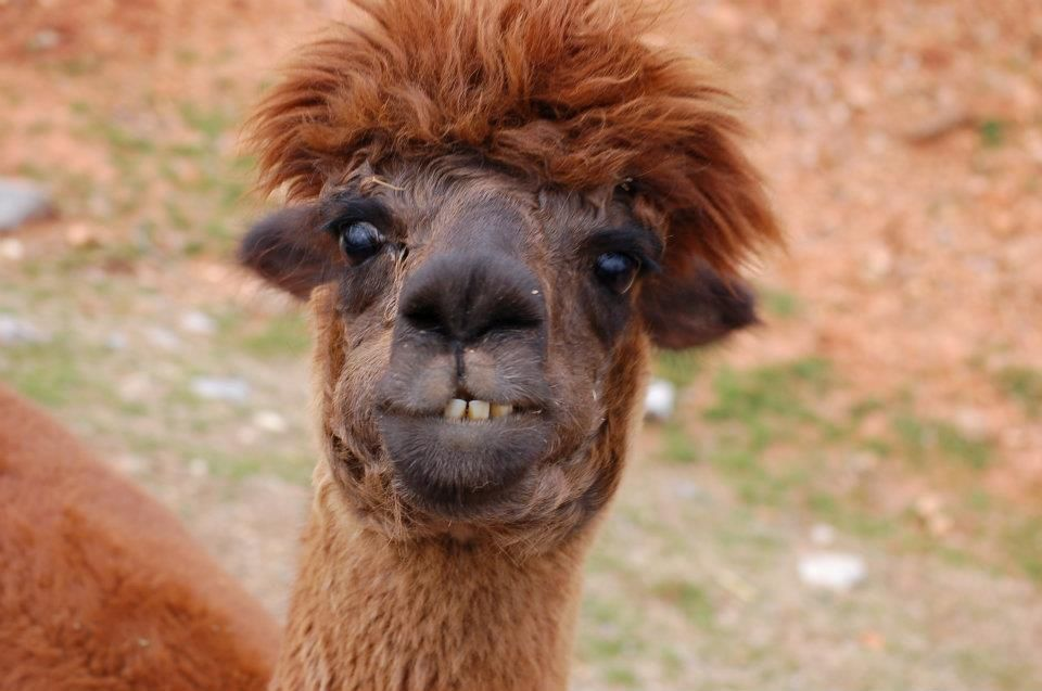 Ugly Funny Lama Super Funny Llamas Being Ugly Besties Funny Animals