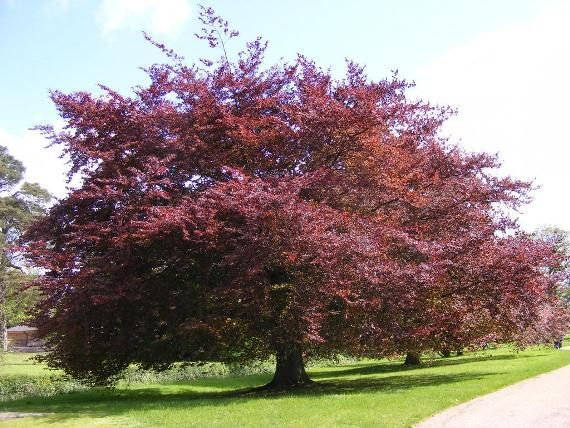 Copper Beech Tree I Think They Are The Most Beautiful Trees Slow Growing But With Time Becomes Mive To 80 Tall And Will Live For 300 Years Leaves