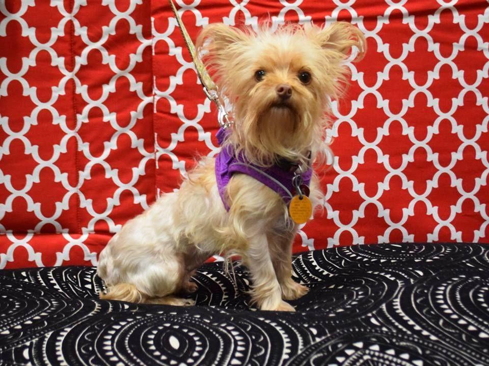 Adopt Vanessa On Yorkshire Terrier Puppies Yorkshire Terrier Dog Yorkshire Terrier