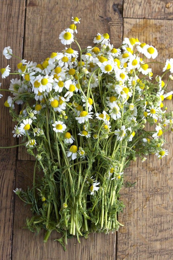 Bunches of camomile
