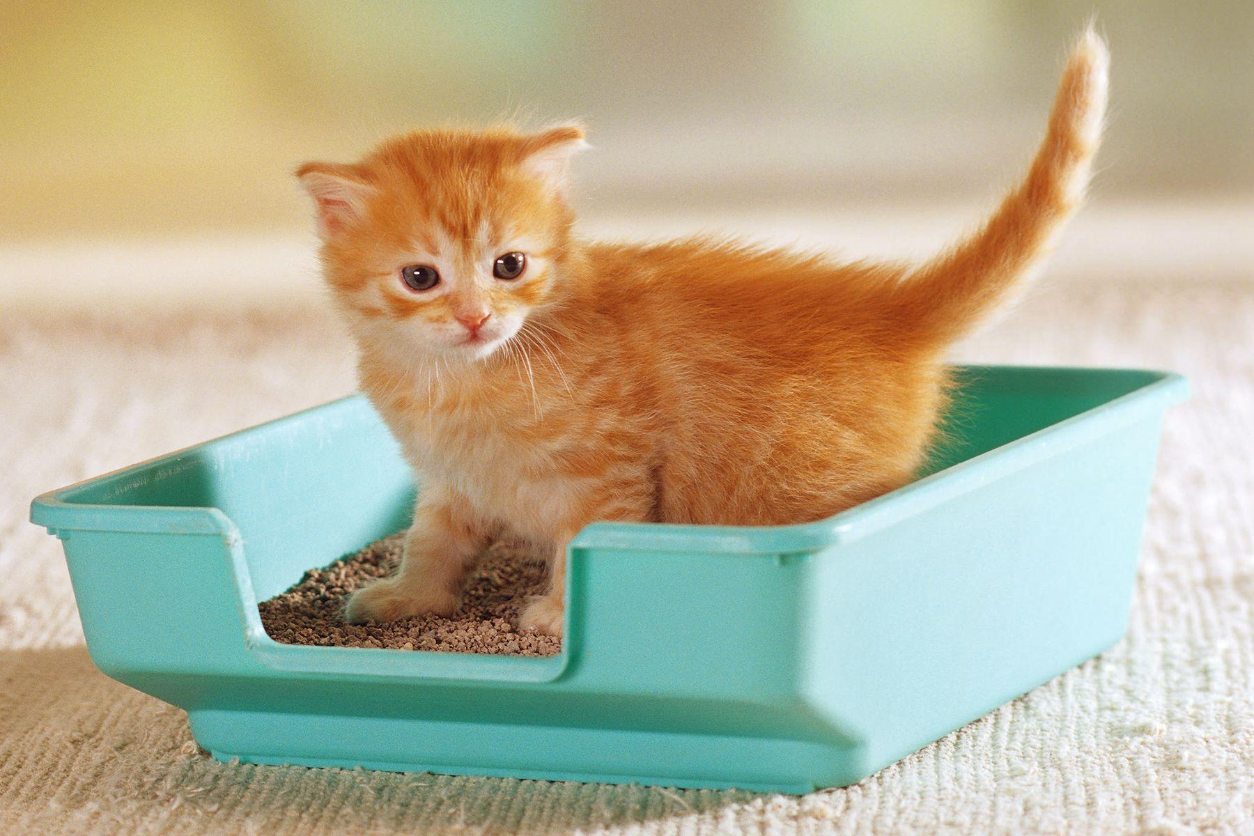 Quiz Do You Know The Litter Box Essentials Litter Training Kittens Best Cat Litter Litter Box