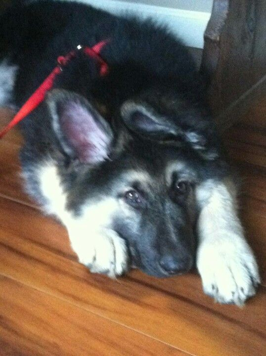 8 Week Old Female Long Coat Black And Silver German Shepherd Dog