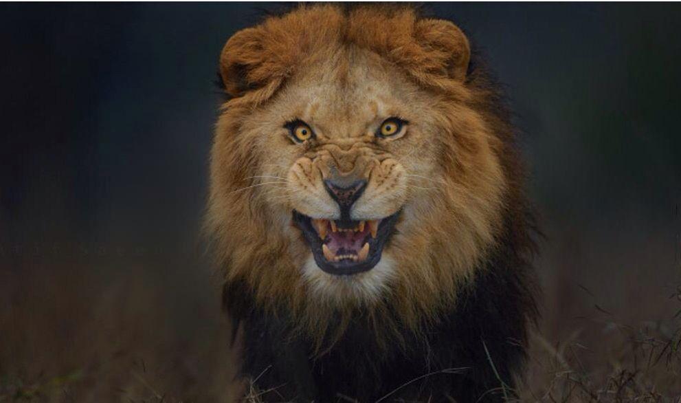 Pin By Brenda Geraci On Fantastic Felines Lions Dont Lose Sleep