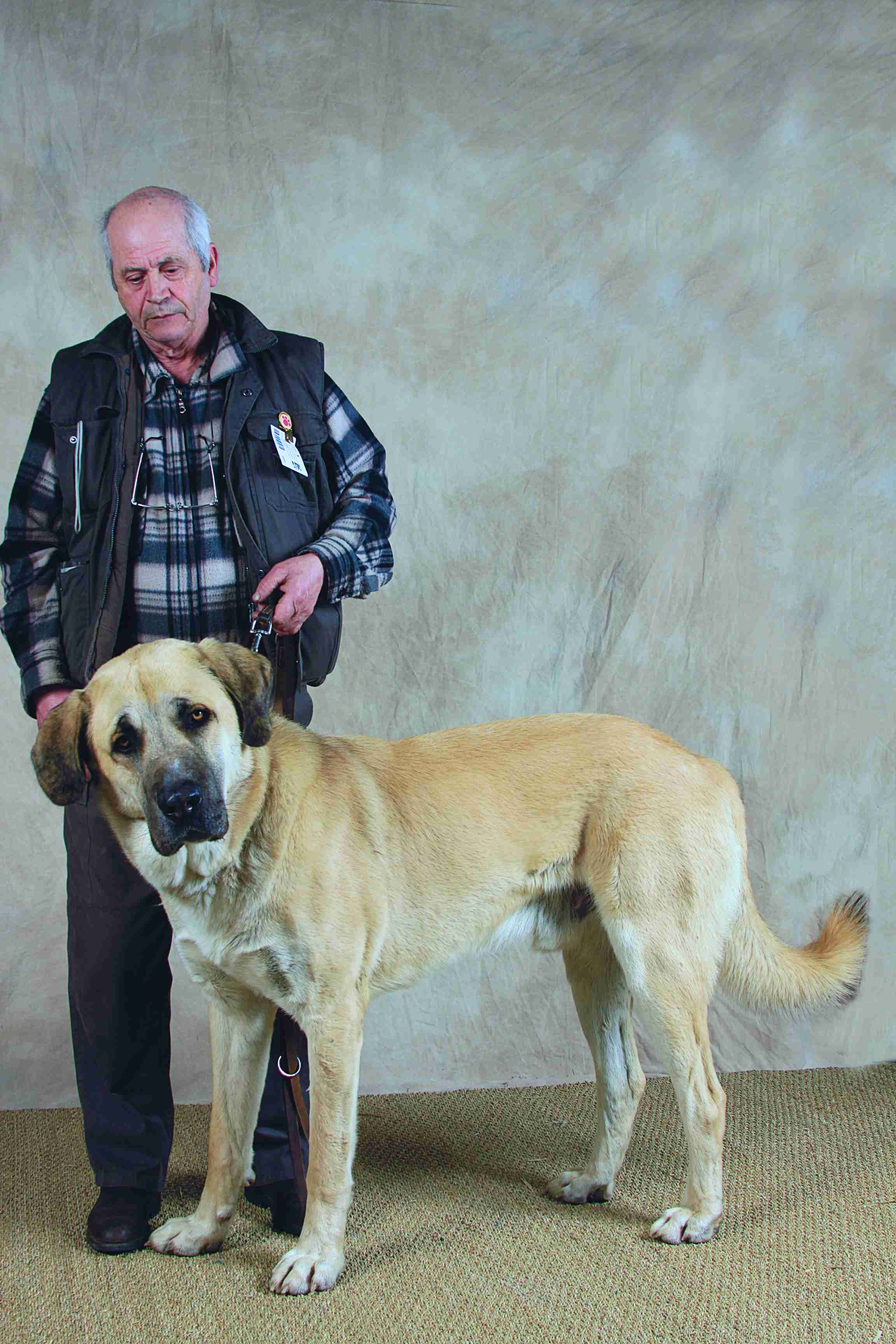 Berger D Anatolie Dogs Dogs Anatolian Shepherd Animals